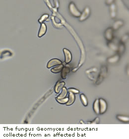 The fungus Pseudogymnoascus destructans collected from an affected bat